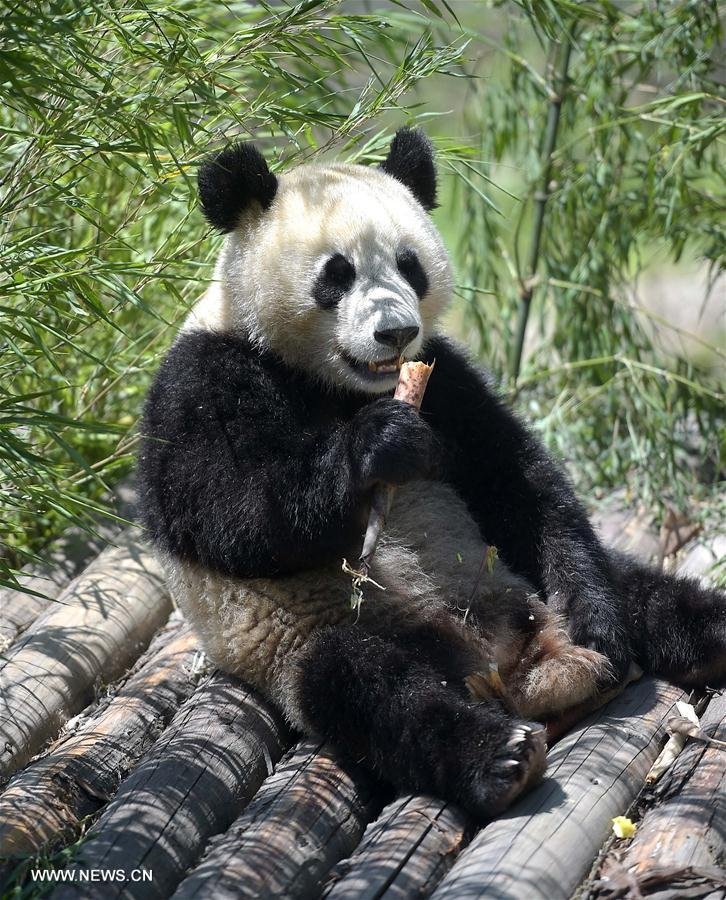 A giant panda eats food at the Shenshuping protection base under the China Conservation and Research Center for the Giant Panda in the Wolong National Nature Reserve, southwest China