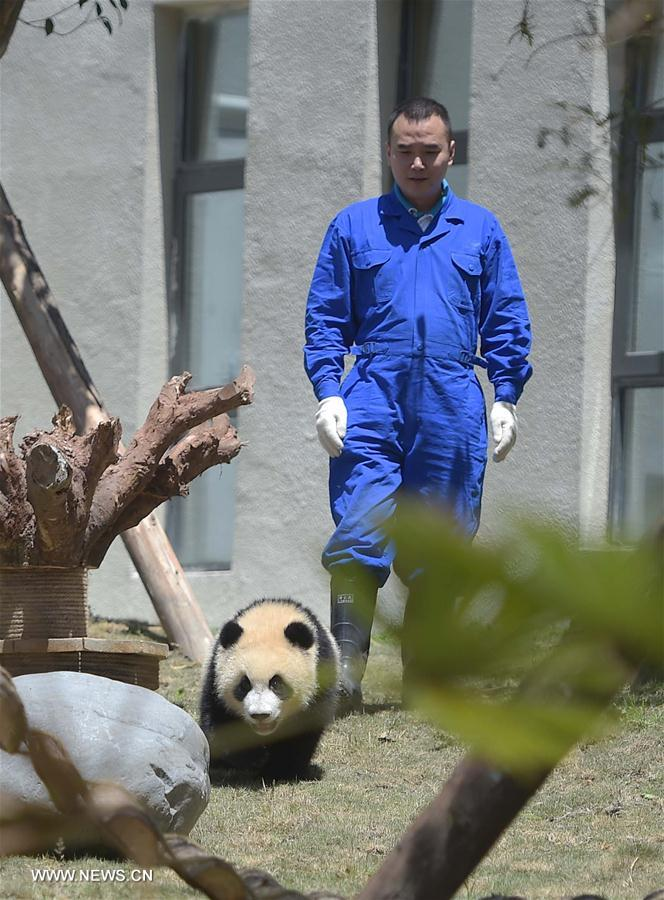 A giant panda born in 2015 is seen at the Shenshuping protection base under the China Conservation and Research Center for the Giant Panda in the Wolong National Nature Reserve, southwest China