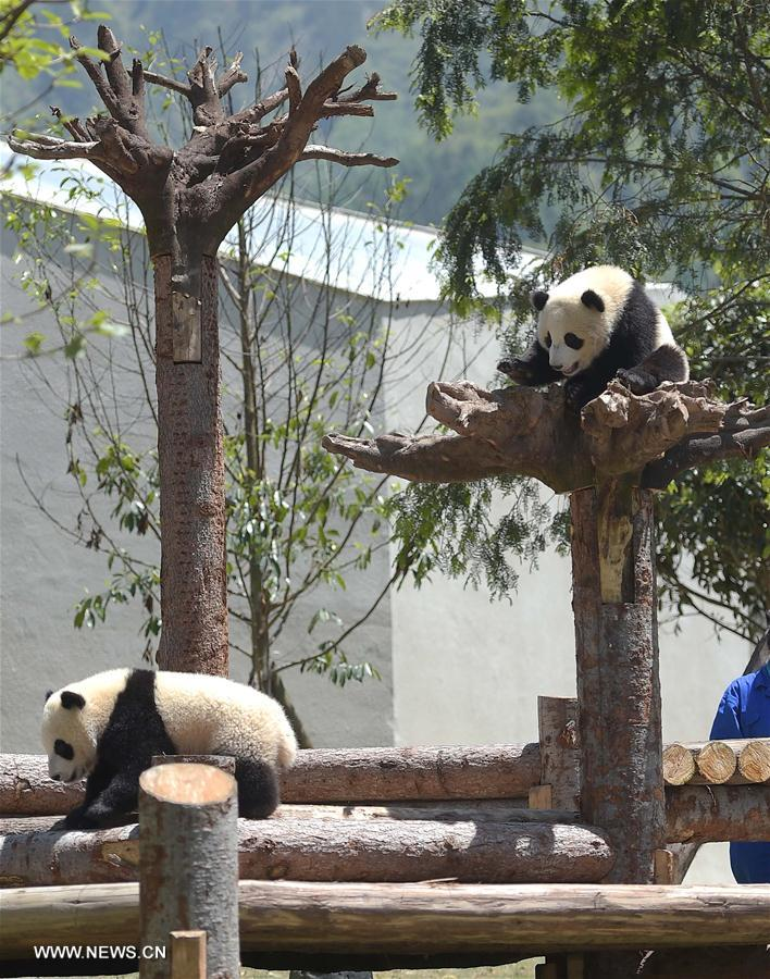 Two giant pandas born in 2015 are seen at the Shenshuping protection base under the China Conservation and Research Center for the Giant Panda in the Wolong National Nature Reserve, southwest China