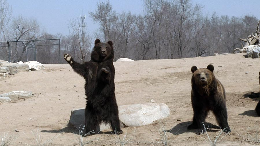 本期动物认知板块《dididu》要给小朋友们介绍可爱的棕熊,快点