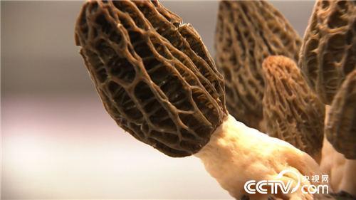 致富经:改变命运的羊肚菌