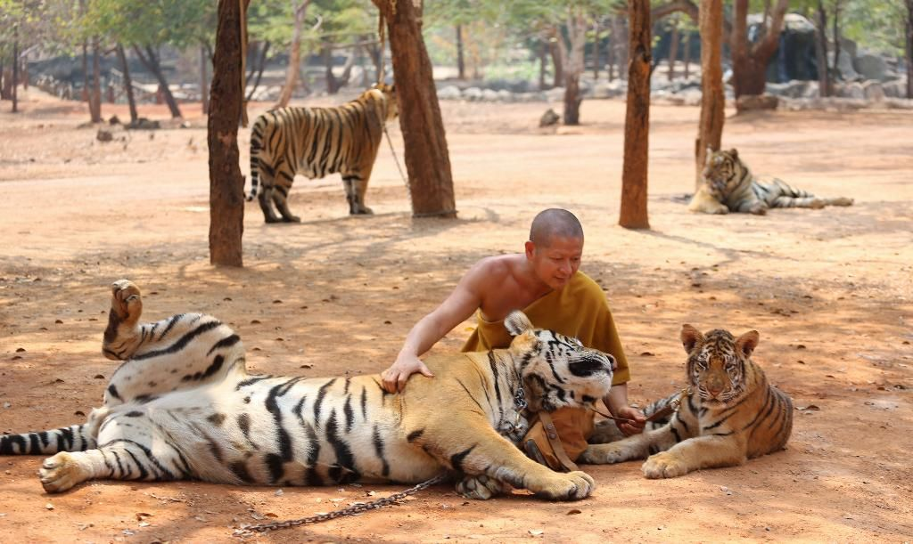 Tiger Temple wins case to keep 150 tigers - CCTV News ...