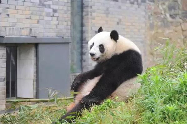 """回国之后""""林冰""""即被安置在雅安碧峰峡大熊猫基地。"""