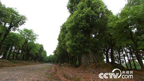工厂和城市街道,那么原来生长在田野中的古树该如何保护?