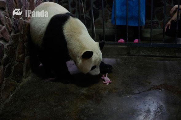 """大熊猫""""梅浜""""及熊猫宝宝"""