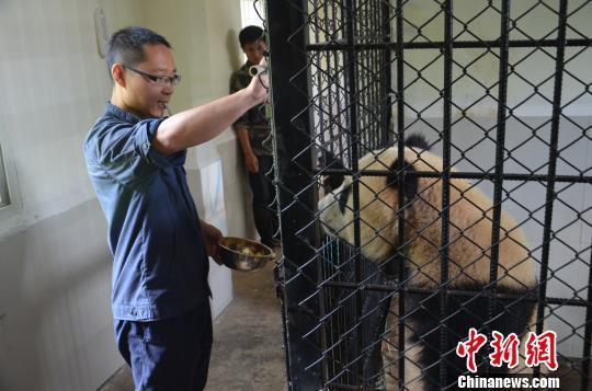 不哭不闹大熊猫囡囡、和兴完成来云南第一次体检(图)
