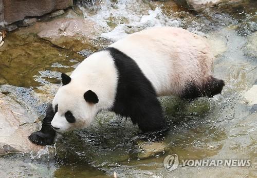 大熊猫戏水消暑