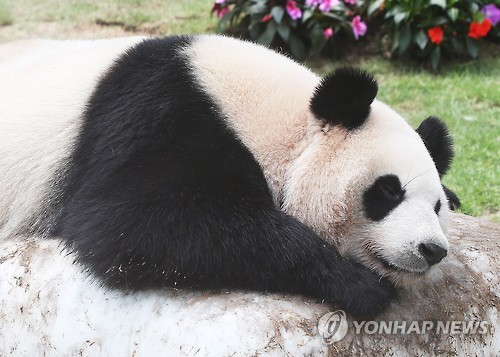 大熊猫趴在人造冰石上消暑