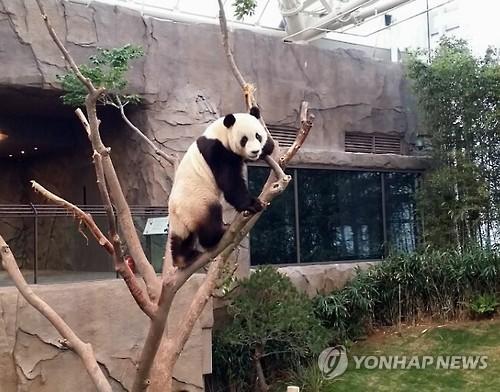大熊猫灵敏地爬树,萌态十足。