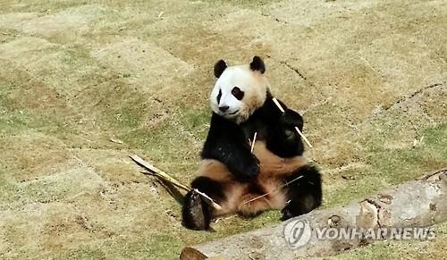 大熊猫萌态十足,憨态可掬