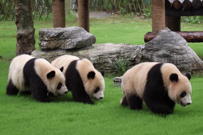 Pandas in Panda base.