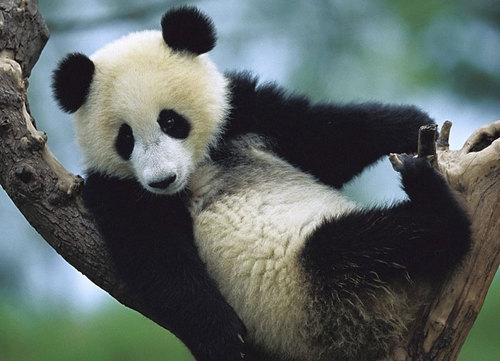 """大熊猫""""好好"""""""