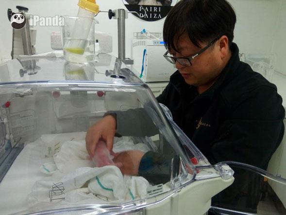 中国大熊猫保护研究中心专家正在对新生幼仔进行人工育幼