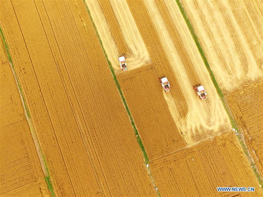 Photo prise le 2 juin 2016 montrant que des moissonneuses récoltent le blé dans les champs dans le village de Liangshan du district de Jiaxiang, dans la province du Shandong (est de la Chine). (Xinhua/Zhu Jinming)