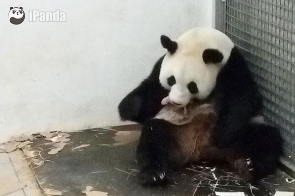 """大熊猫""""好好""""带仔中"""