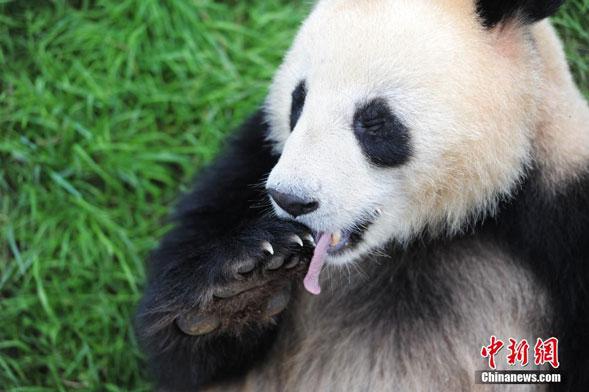 """大熊猫和兴舔舐拿过食物的""""熊掌"""""""