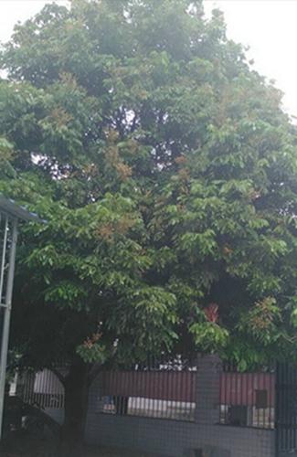 茂密的龙眼树