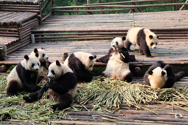 成都大熊猫繁育研究基地(资料图)