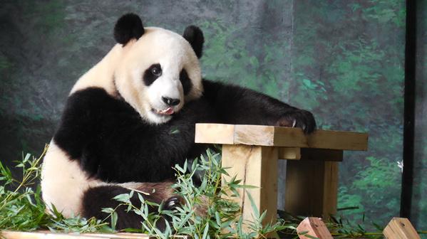 """2016年3月赴韩国参与国际合作交流的大熊猫""""园欣"""""""