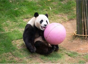 赴韩大熊猫顺利度过100日 韩国爱宝乐园生活曝光