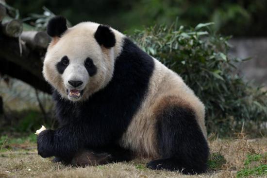 神农架获准开展大熊猫科研和观赏
