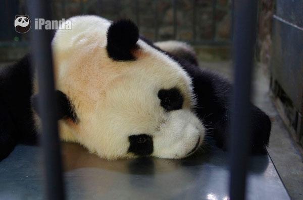 """顺利诞下""""姐妹花""""的大熊猫""""雅莉"""""""