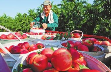 近年来,孟州市谷旦镇米庄村通过大力发展特色种植业摘掉了穷帽子。图为6月19日,村民党市民正在收获红彤彤的油桃。聂小品摄