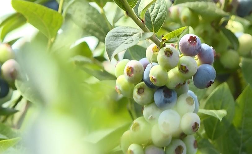 """时志军说:""""首先我们把大果、特级果、作为新鲜水果销售,像这种小一点的果子,我们可以拿它来深加工。做蓝莓干、蓝莓酱、蓝莓汁。"""""""