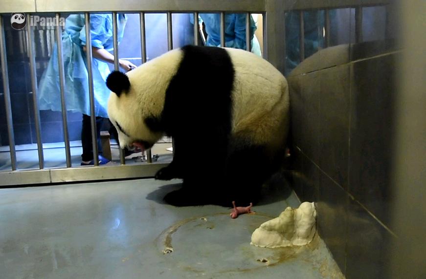 """大熊猫""""心心""""产下双胞胎"""
