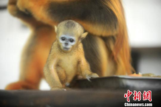 江苏扬州成功繁育金丝猴 小金丝猴呆萌又可爱(图)