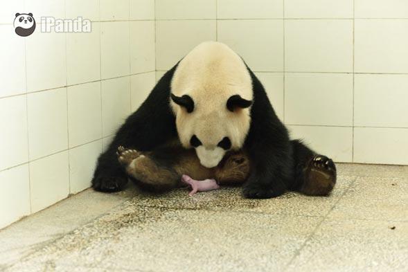 """大熊猫""""淑琴""""及其幼仔(摄 罗波)"""