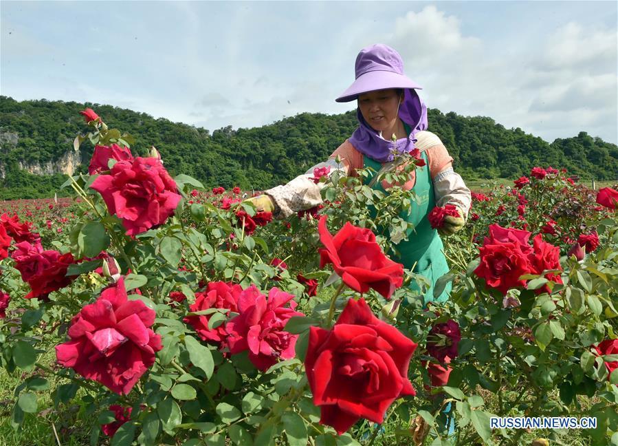 Второй сезон цветения роз в провинции Юньнань