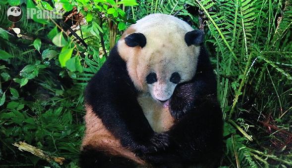 """大熊猫""""草草"""""""