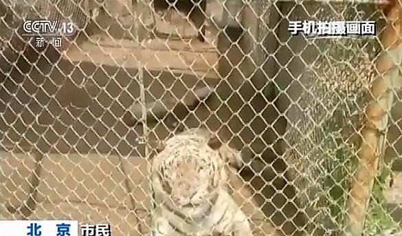 """事件发生后,有网上传言称""""伤人老虎将被处死"""",记者从负责此事件的北京市延庆区园林绿化局副局长王淑琴处证实,该传言为谣言。王淑琴还介绍,老虎袭击游客后,被园区安保驾驶的巡逻车驱逐、离开现场,现在仍饲养在园内。目前八达岭野生动物园正在配合相关部门调查,并进一步加强安全措施。 【管理现状】野生动物园自驾游尚无明确规范 据了解,目前在野生动物园管理方面,我国主要是依据《城市动物园管理规定》等相关规定、通知、意见。相关文件中虽然提到动物园安全管理的规定,但并没有明确规范野生动物园自驾游。不"""