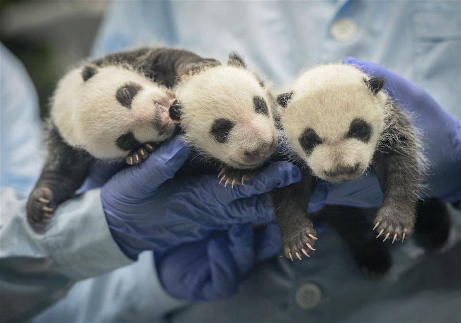 Photo taken on Aug. 28, 2014 shows giant panda triplets Mengmeng, Shuaishuai and Kuku on the 31st day after they were born in Guangzhou, capital of south China