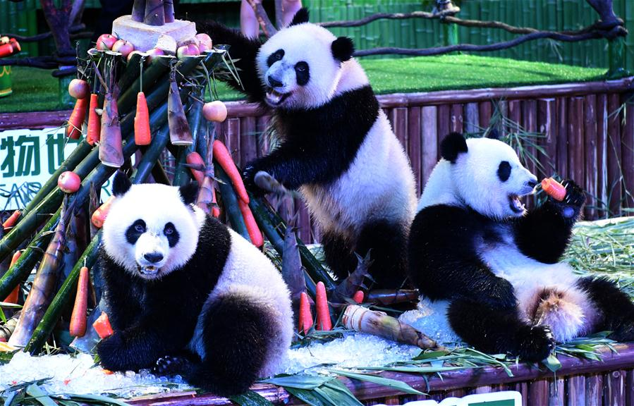 Giant panda triplets Mengmeng, Shuaishuai and Kuku eat bamboo shoots and carrots at their birthday party in in Guangzhou, capital of south China