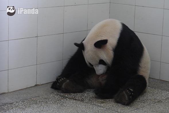 2016年卧龙第一只大熊猫宝宝出生