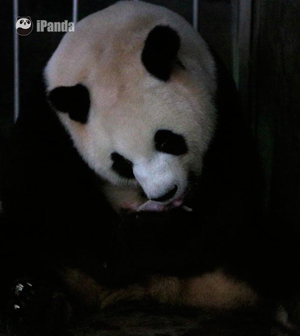 """奥运大熊猫""""科比""""家族七日添六丁—大熊猫""""圆圆""""顺利产下一对双胞胎"""