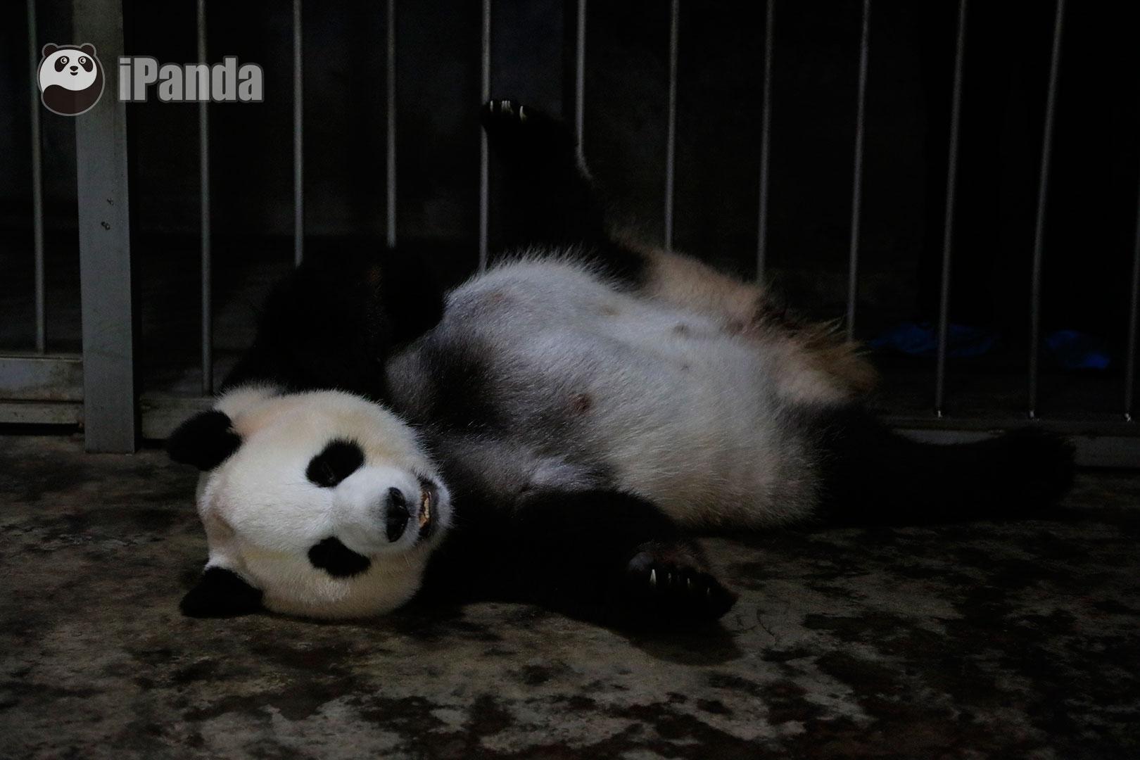 """熊猫奥运""""科氏""""家族再添新成员!成都大熊猫""""绩丽""""成功产下一对龙凤胎"""