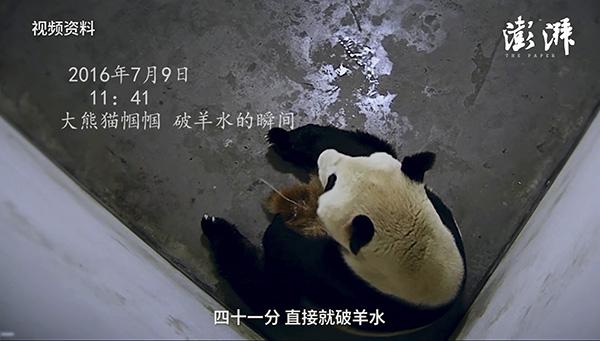 11点41分,监控画面显示帼帼的羊水破了,一分钟后,小熊猫就出生了。