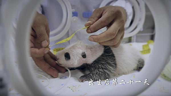 从发育情况来看,小熊猫宝宝各方面的数据都好于熊猫发育的平均水平。