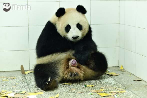 """大熊猫""""喜豆""""产仔--罗波 摄"""