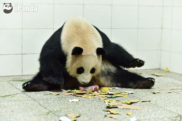 """大熊猫""""喜豆""""和""""巨婴""""熊猫宝宝"""