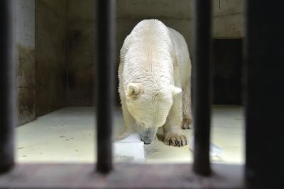 北极熊享受冰块