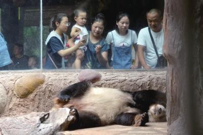 大熊猫在空调房里睡觉引来游客围观