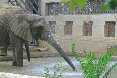 大象边淋浴边吃水果