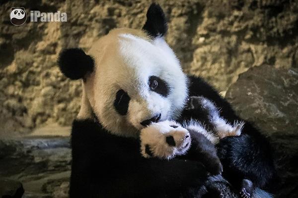 """旅居比利时大熊猫""""好好""""幼仔正式亮相 图 中国大熊猫保护研究中心提供"""
