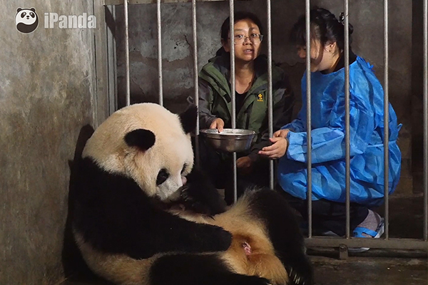 """大熊猫""""成功"""""""