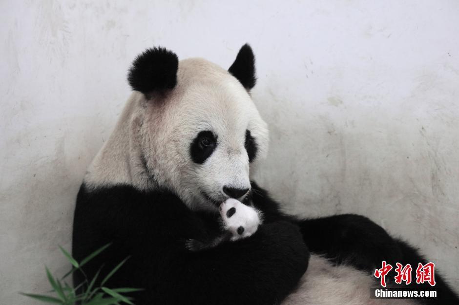 """大熊猫""""帼帼""""和它的宝宝"""