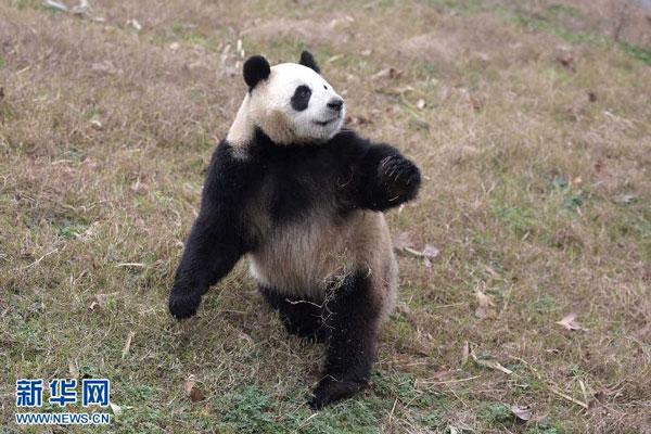 在中国保护大熊猫研究中心都江堰基地,一只大熊猫在玩耍。2015年2月19日,新华社记者薛玉斌摄
